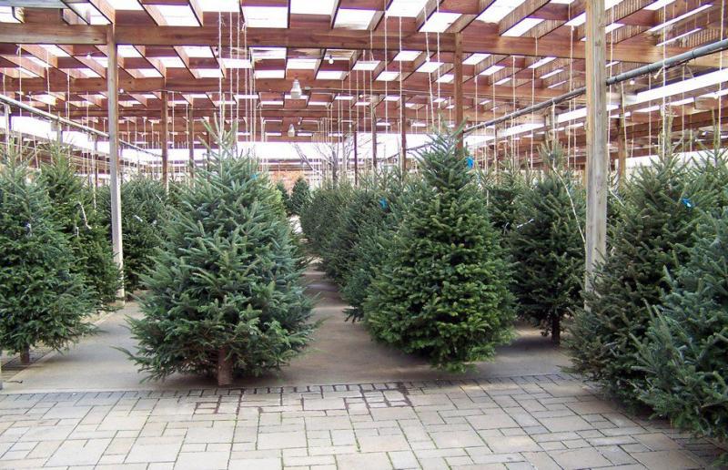 Albero Di Natale Vero.Cia Ascoli Fermo Forte Calo Della Coltivazione Del Vero Albero Di Natale Picenotime It
