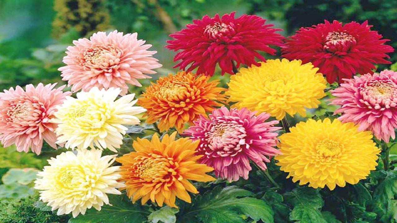 Cia Ascoli e Fermo, invito ad acquistare crisantemi locali per la ricorrenza dei defunti