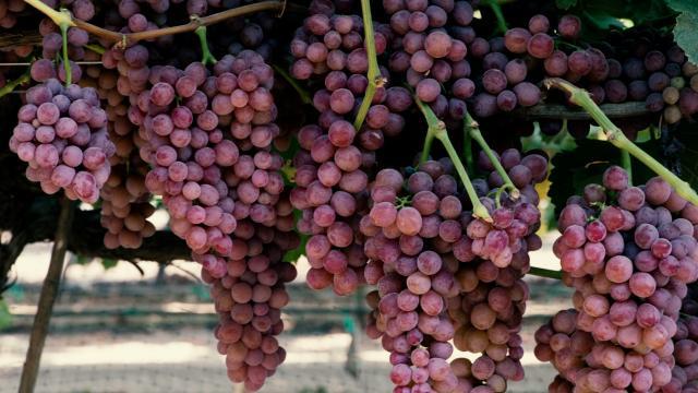Regione Marche, tavolo di confronto con gli operatori della filiera vitivinicola
