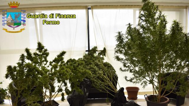 Guardia Finanza Fermo, individuato corriere di marijuana e scovata una piantagione casalinga