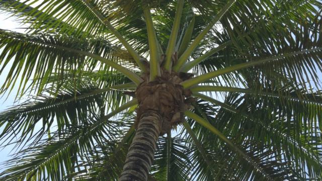 Grottammare: a dimora 25 nuove palme, priorità sul lungomare