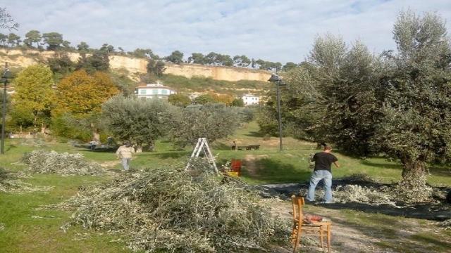 Grottammare: olive pubbliche, a bando 200 alberi per la raccolta